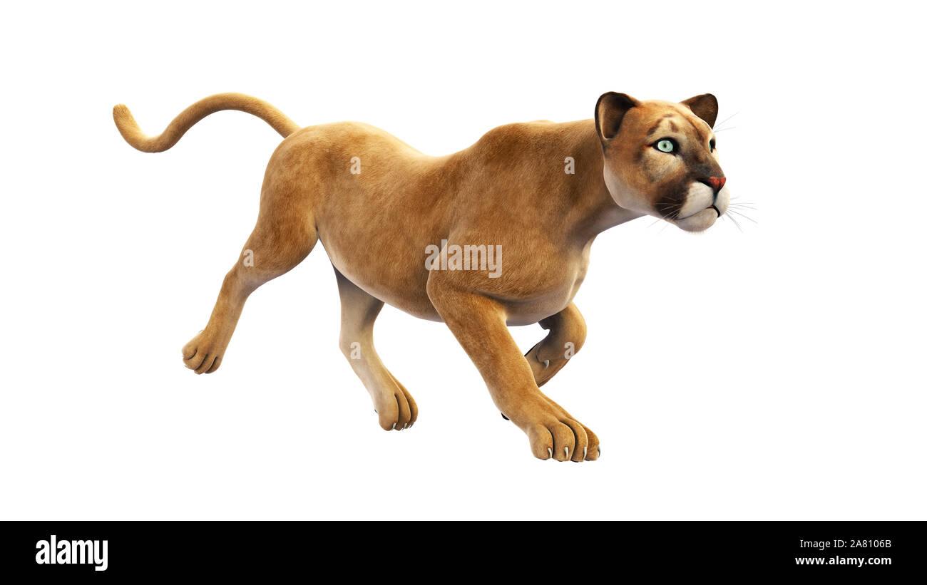 Puma, mountain lion running, wild cat isolated on white background Stock Photo