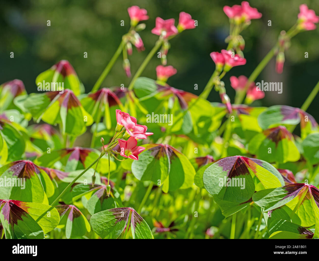 Flowering lucky clover, oxalis tetraphylla Stock Photo