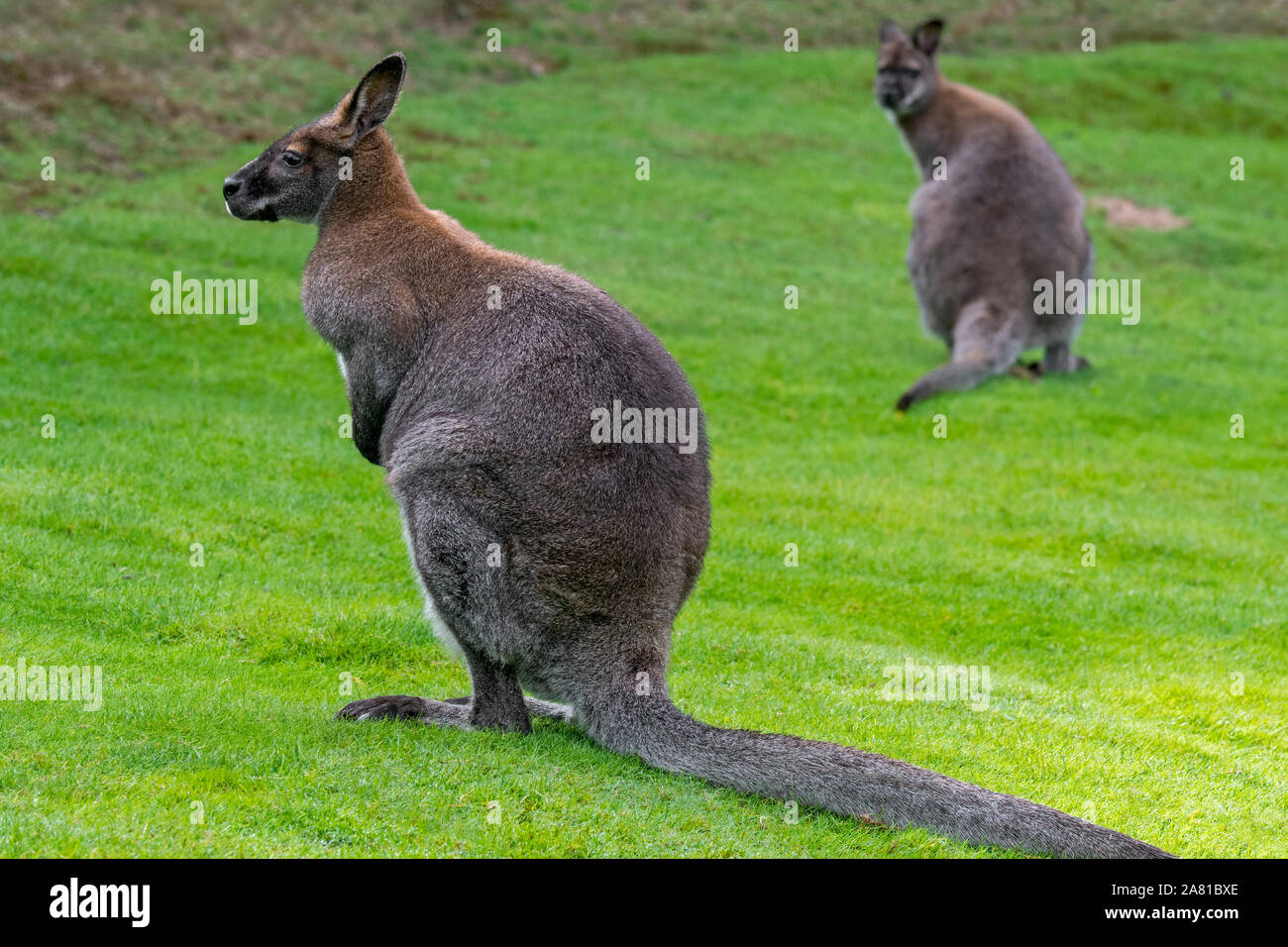 Two Red Necked Wallabies Bennett S Wallabies Macropus Rufogriseus Native To Eastern Australia And Tasmania Introduced To New Zealand And Europe Stock Photo Alamy
