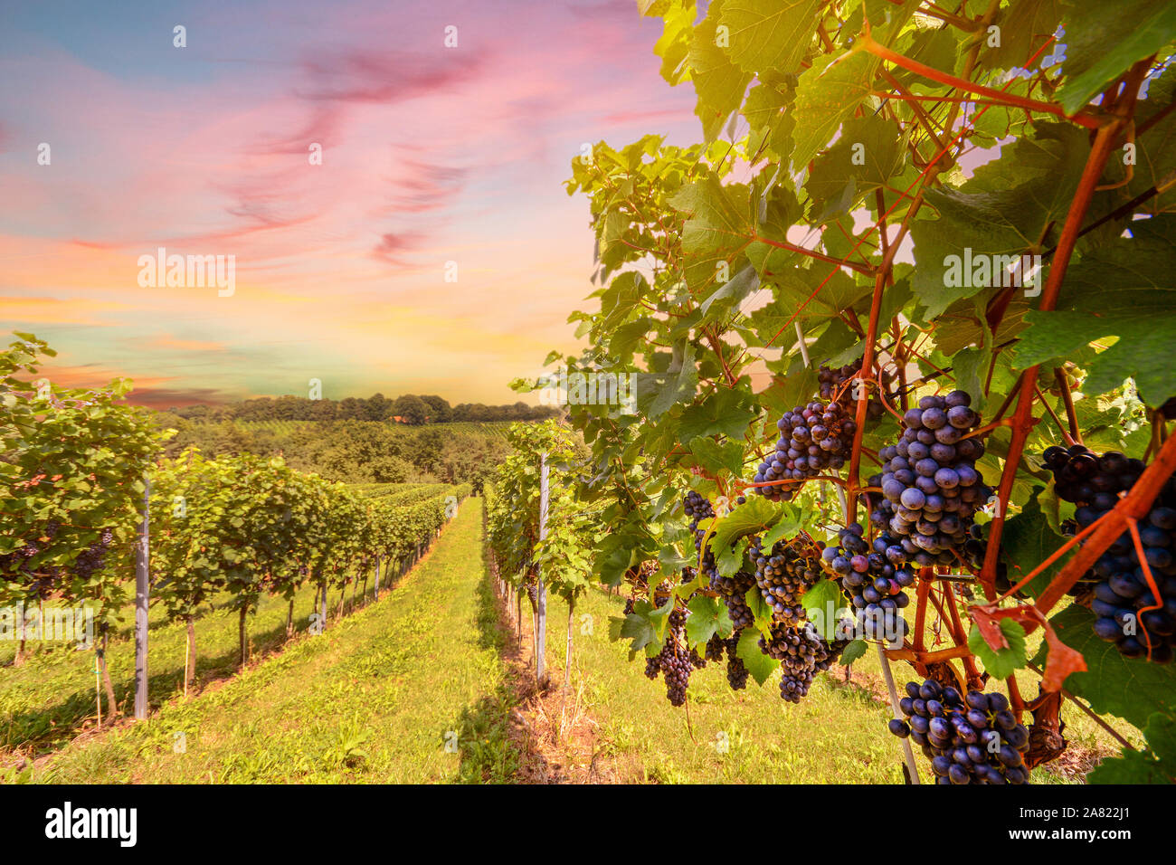 Sunset over vineyards with red wine grapes in late summer Stock Photo