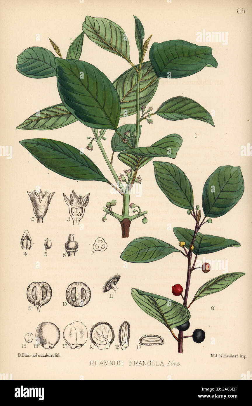 Alder Buckthorn Frangula Alnus Berry Bearing Alder Or Black