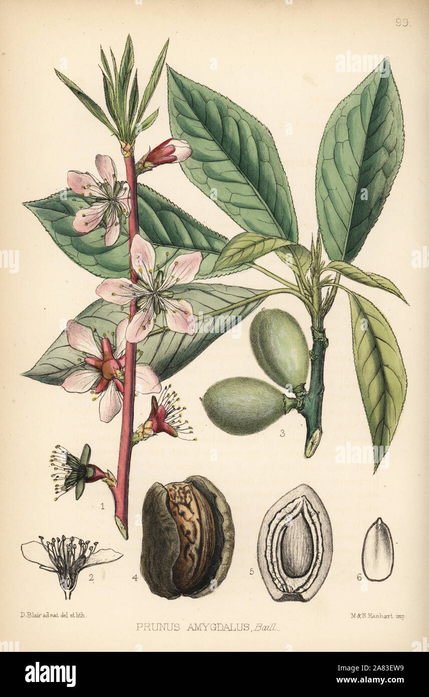 Almond Tree Prunus Dulcis Prunus Amygdalus Handcoloured Lithograph By Hanhart After A Botanical Illustration By David Blair From Robert Bentley And Henry Trimen S Medicinal Plants London 1880 Stock Photo Alamy