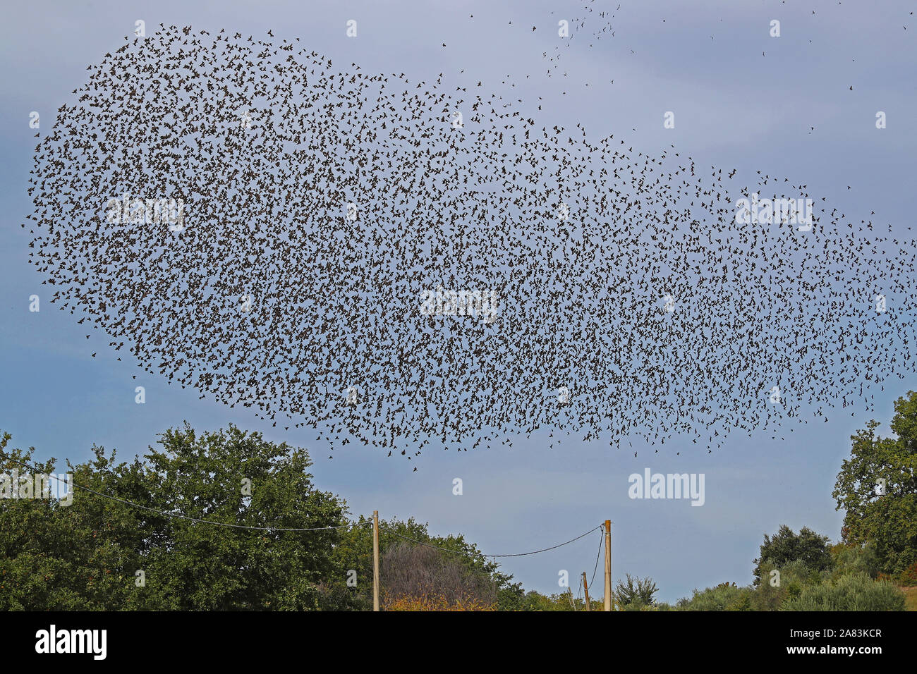 a large flock or murmuration of starlings flocking together and flying in formation above a field in rural Italy Stock Photo