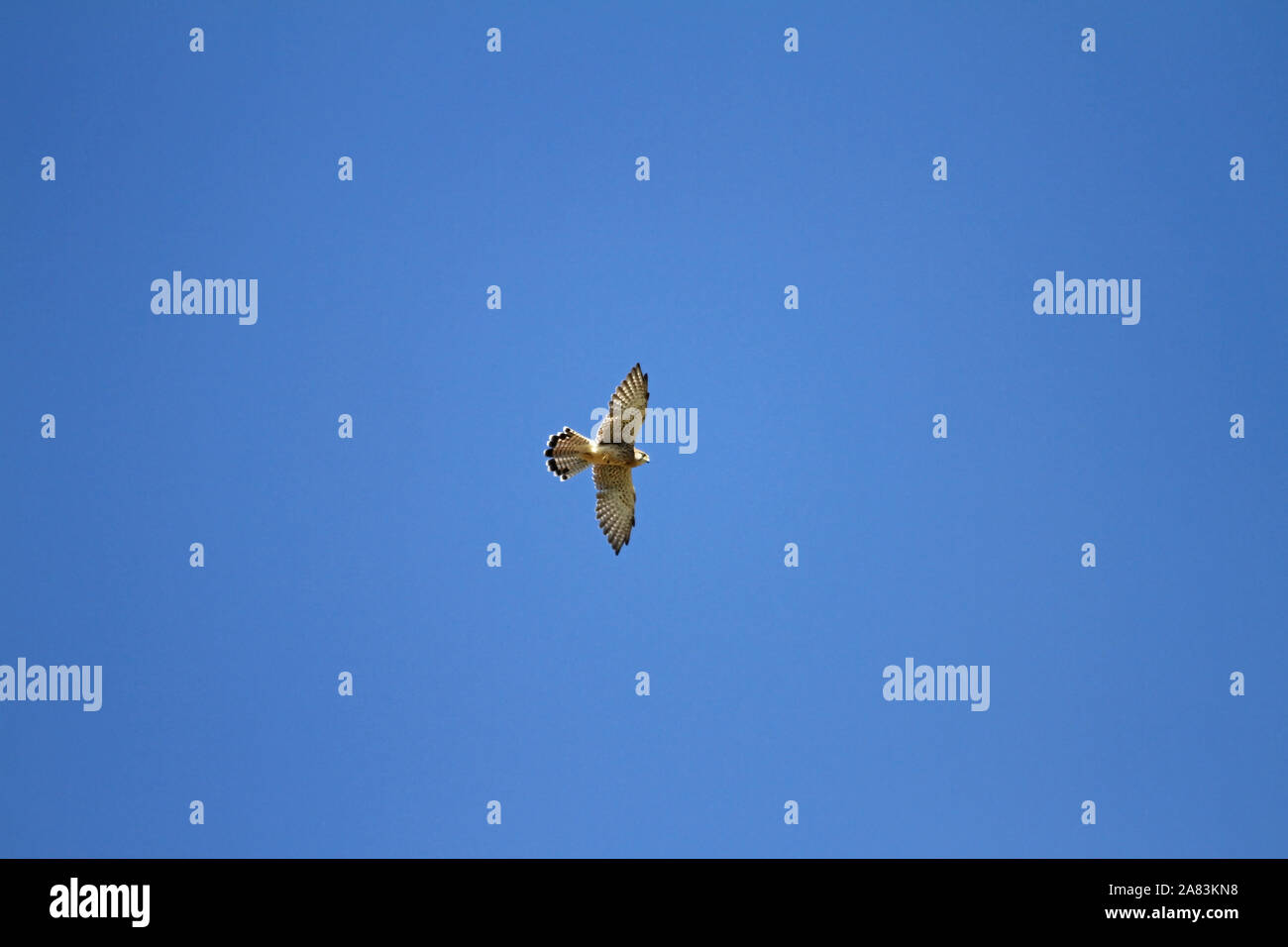 female kestrel Latin name falco tinnunculus with wings outstretched hunting above a field in Le Marche in Italy Stock Photo