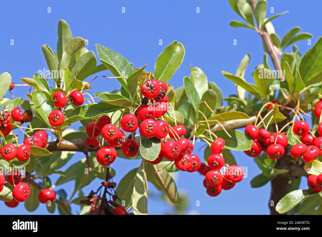 pyracantha or firethorn plant with bright red berries or pomes in autumn or fall in Italy related to cotoneaster and from the rosaceae family Stock Photo