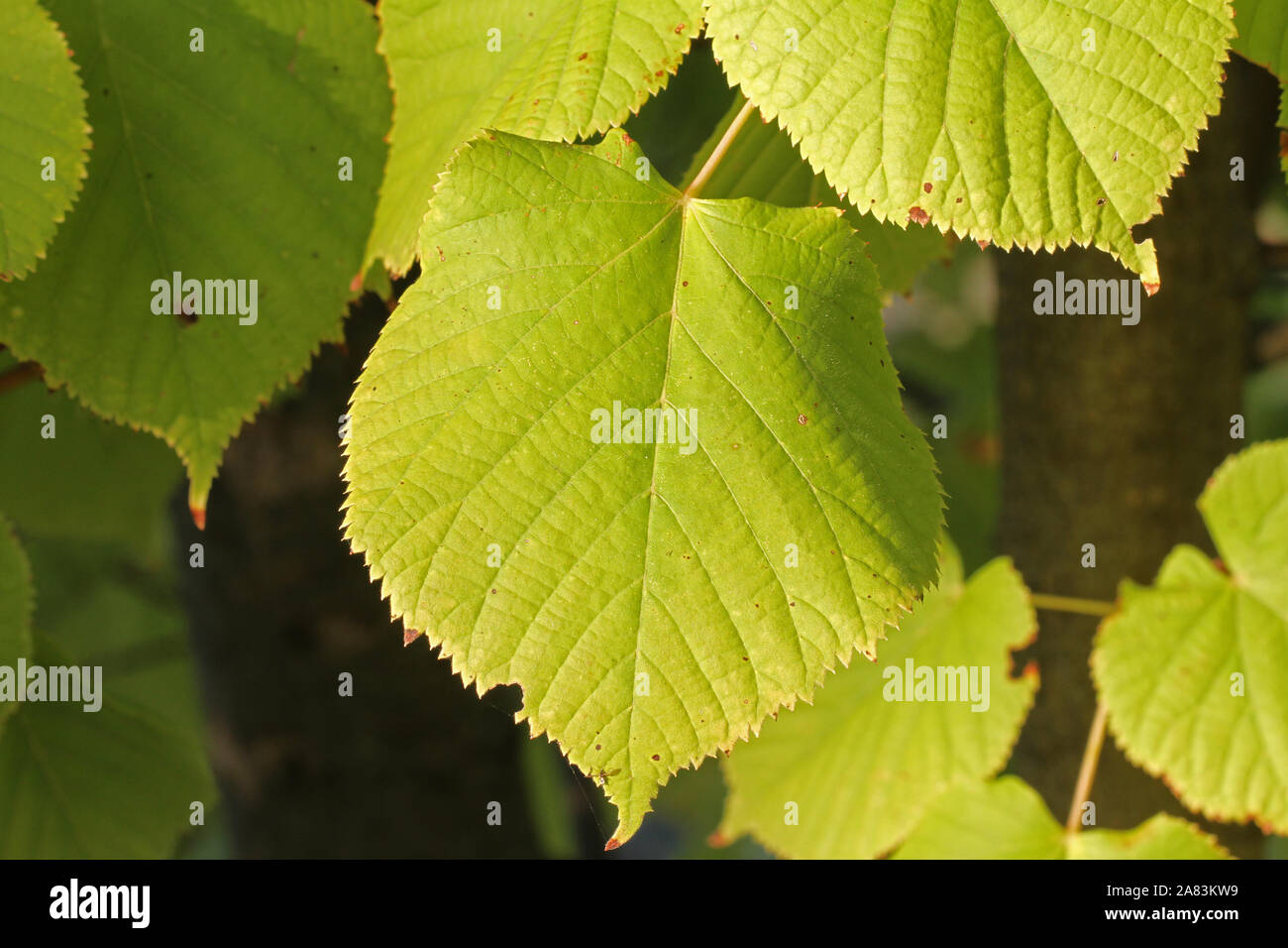 common lime leaf close up with the sun behind in late October in Italy Latin tilia from the malvaceae family also makes a soothing tea Stock Photo