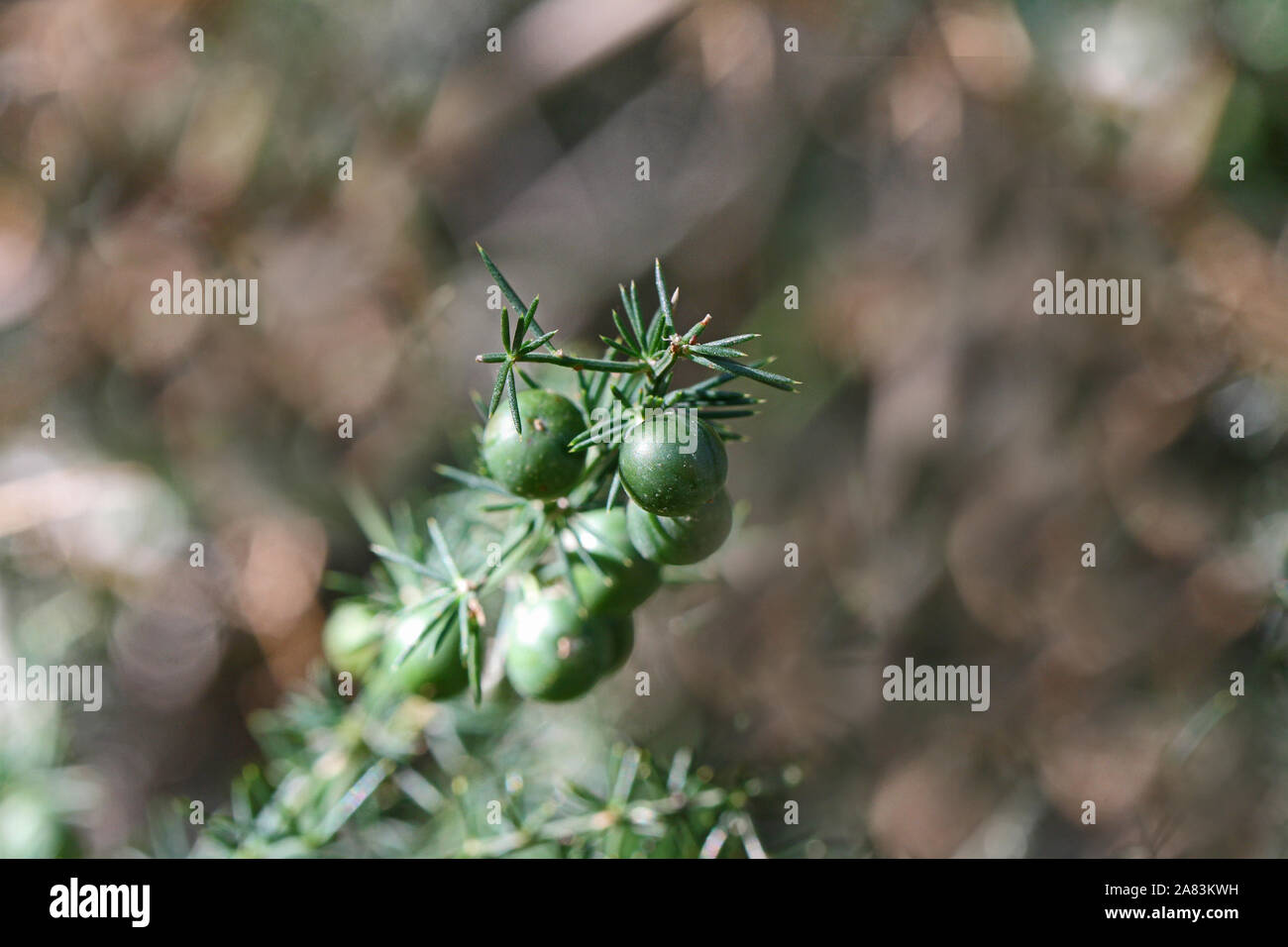 wild asparagus or sparrow grass berries in autumn or fall in Italy a very thorny plant edible and very healthy Latin asparagus acutifolius Stock Photo
