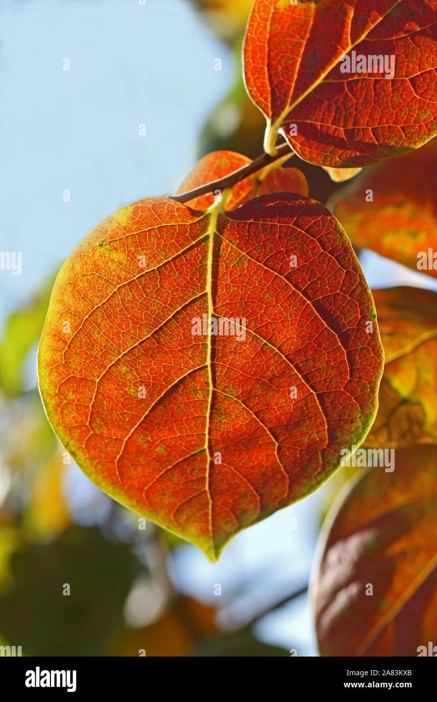 persimmon or persimon leaf or kaki leaf diospyros kaki family ebenaceae close up in autumn showing beautiful colours in Italy Stock Photo
