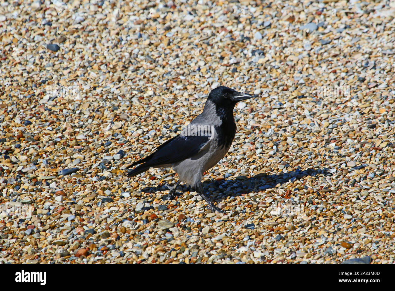 hooded crow hooded crow Latin corvus cornix in the family corvidae on the beach in early spring in Italy looking at the camera very intelligent birds Stock Photo
