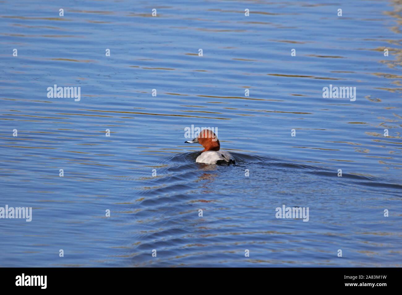 male common pochard close up Latin aythya ferina swimming in a nature reserve in Porto Potenza Picena in Italy Stock Photo