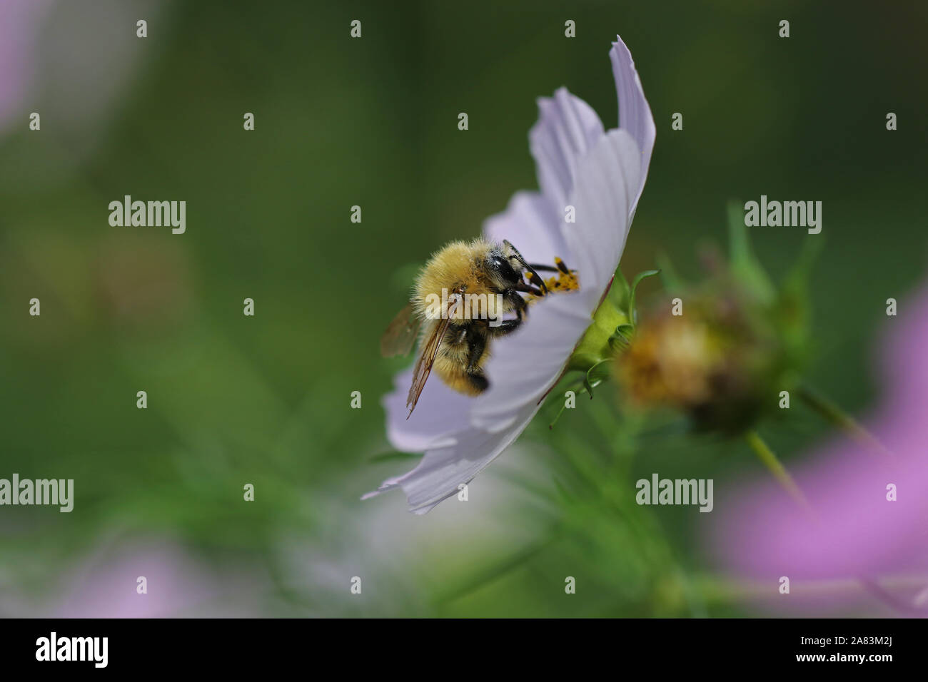 orange bee probably a cuckoo bee psithyrus barbutellis close up collecting pollen on a garden cosmos bipinnatus flower also called a Mexican aster Stock Photo