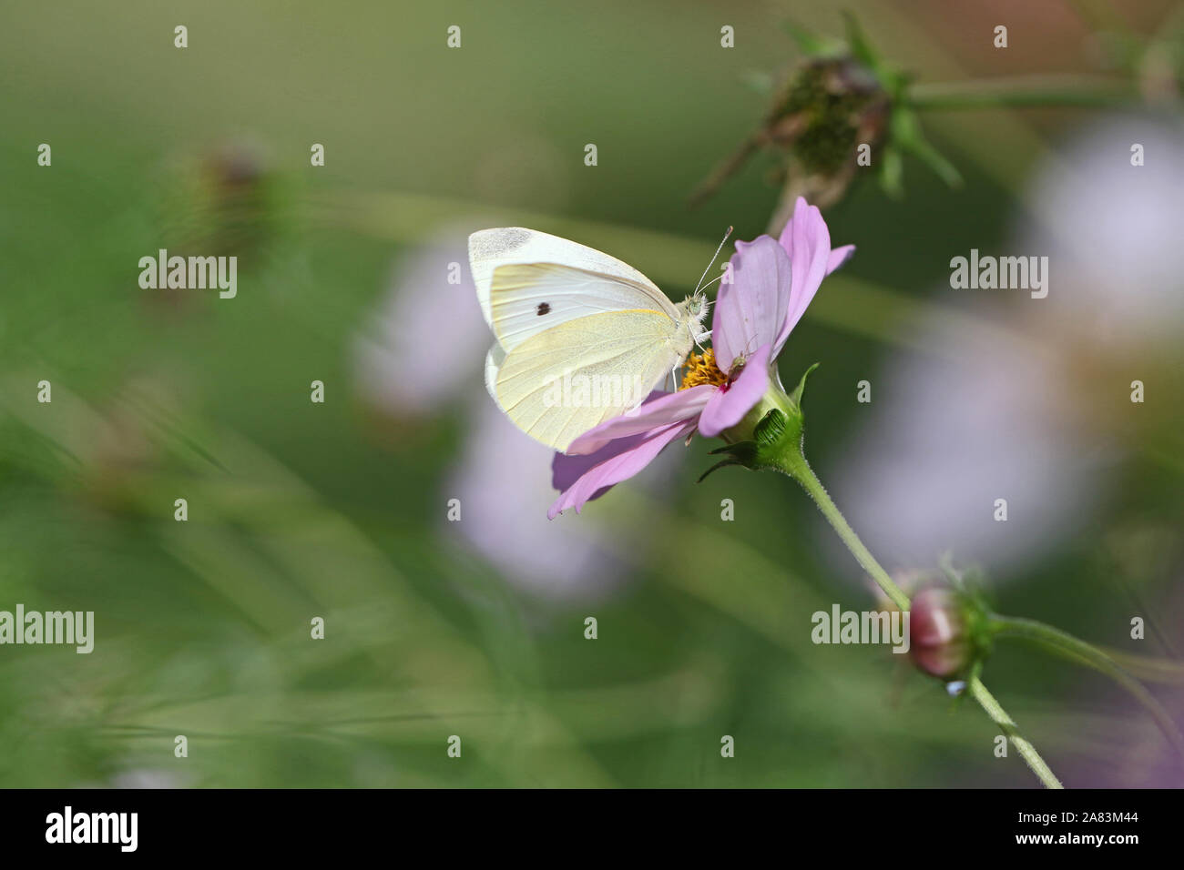 small white or cabbage white butterfly closeup Latin pieris rapae collecting pollen on a garden cosmos bipinnatus flower also called a Mexican aster Stock Photo