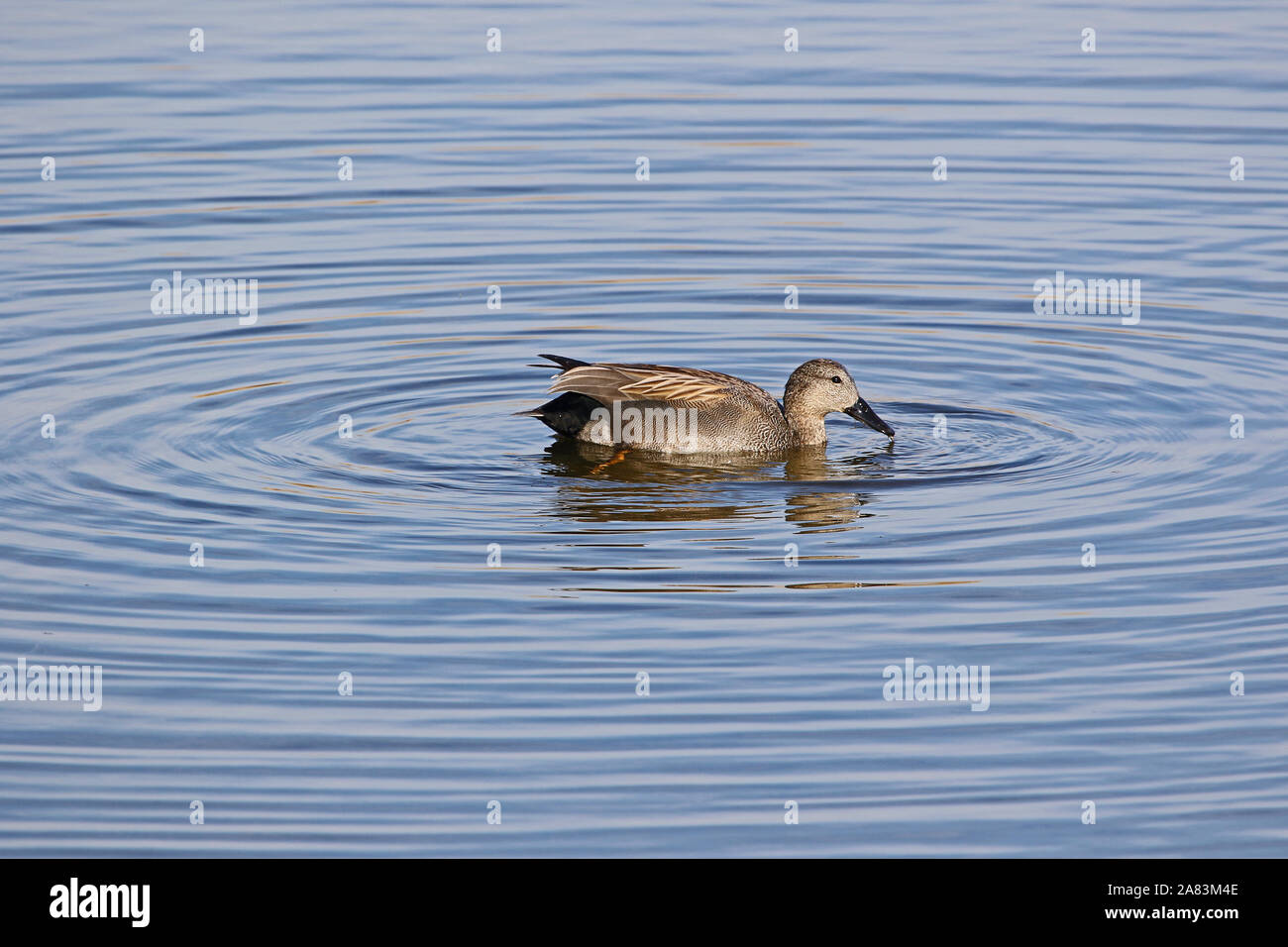 Male gadwall duck Latin name anas strepera family anatidae vulnerable status swimming in the Sentina nature reserve in Porto D'Ascoli Le Marche Italy Stock Photo
