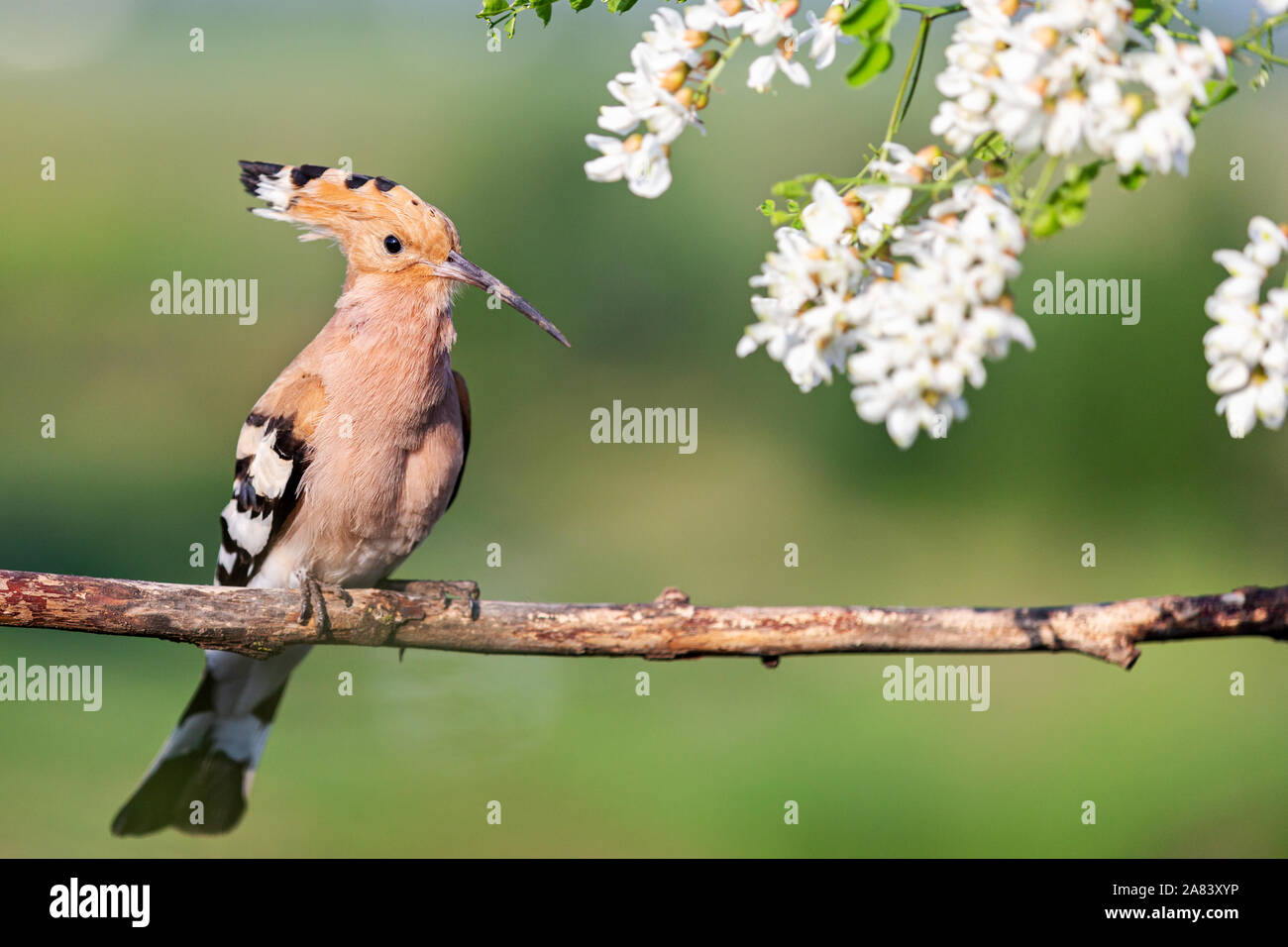wild bird with a crest on its head sits in the flowers of a robinia Stock Photo