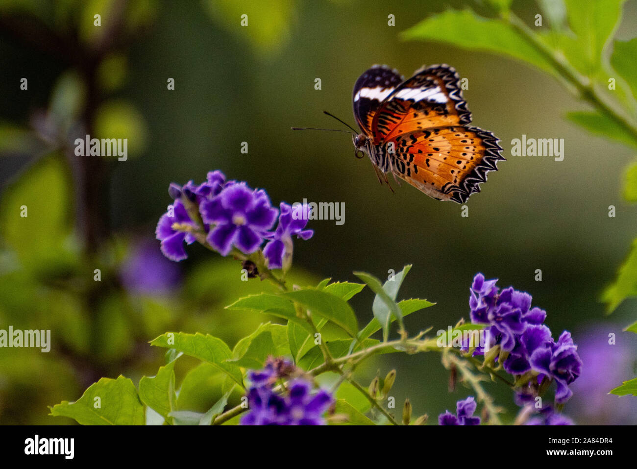 Fluttering Flight Mechanisms in Insects Stock Photo