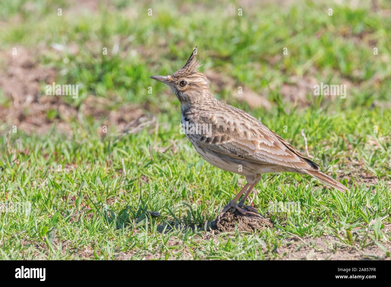 Crested lark on ground (Galerida cristata) Wildlife Close up Stock Photo