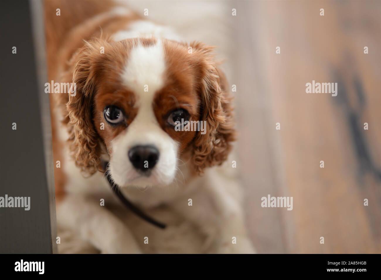 Dog spaniel Stock Photo