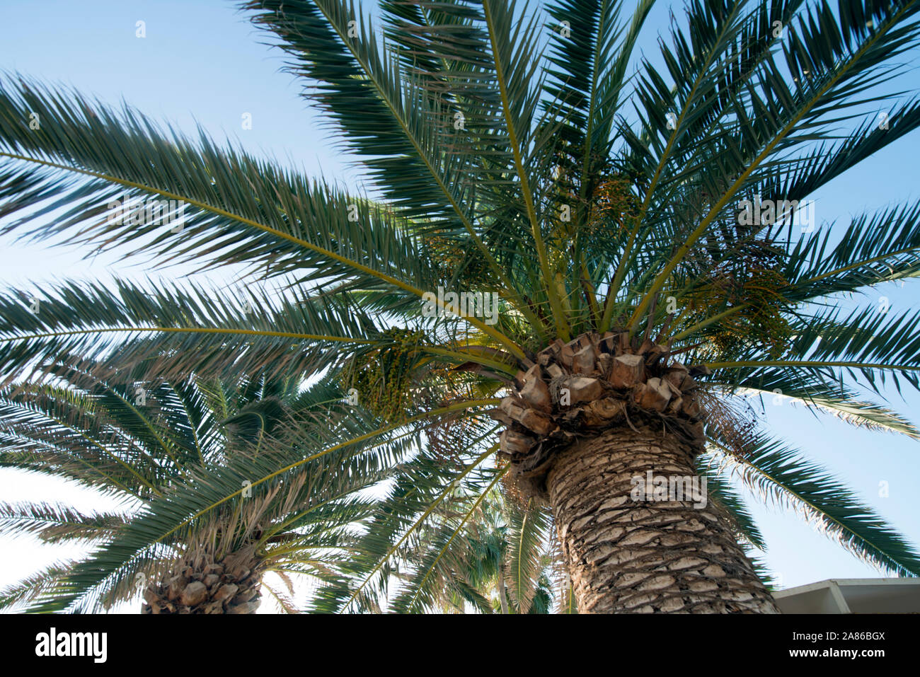 CYPRUS- Arecaceae are a botanical family of perennial plants. Their growth form can be climbers, shrubs, tree-like and stemless plants. Stock Photo