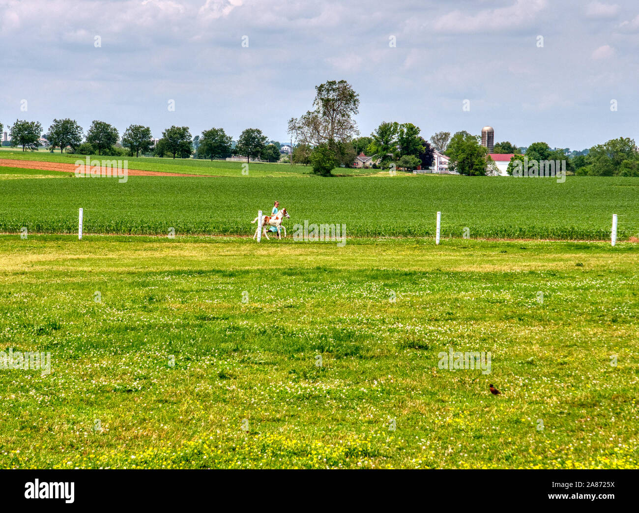 Amish Girl Training and Running with a Young Pony on a Sunny Summer Day Stock Photo
