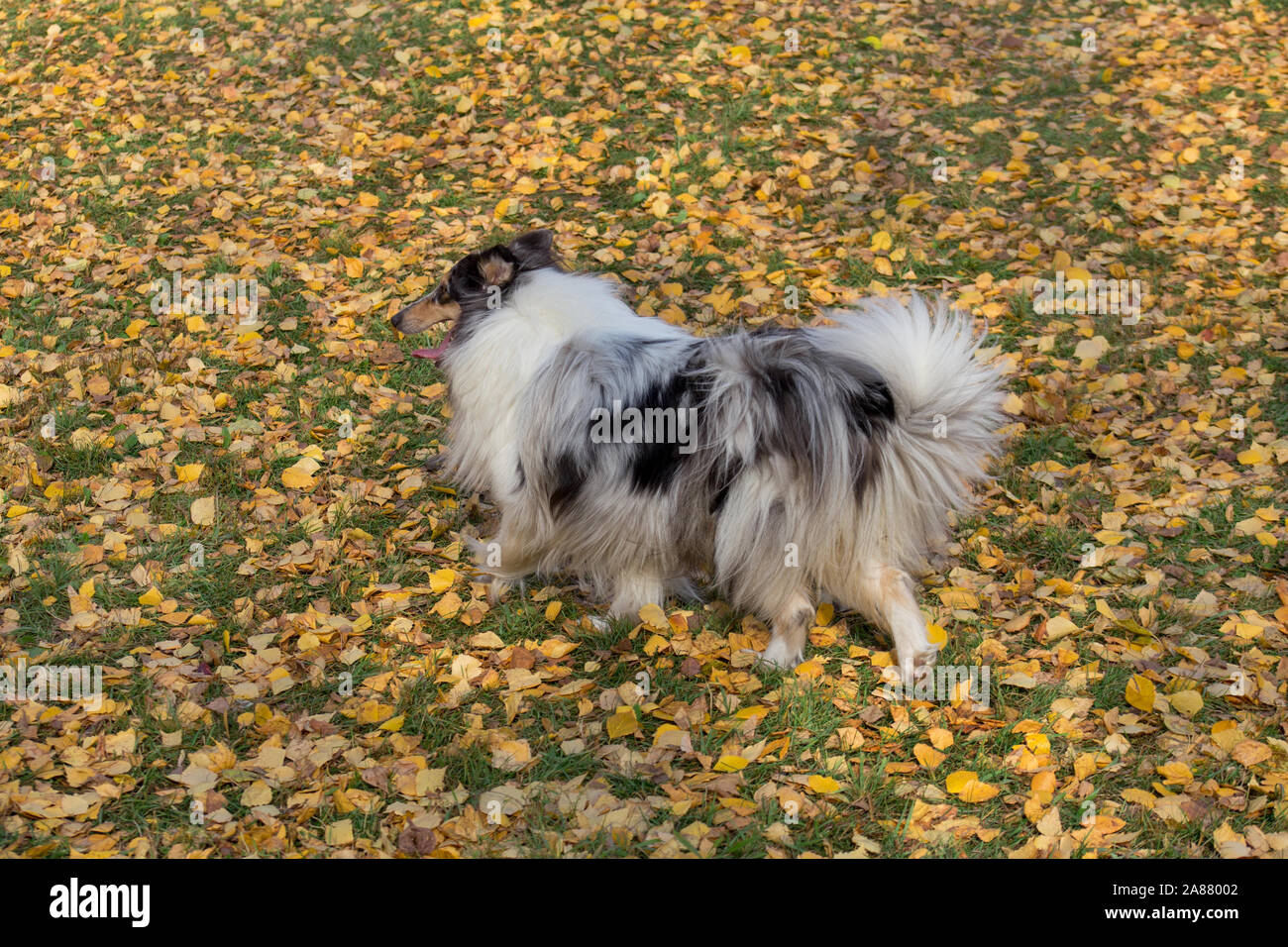 Cute blue merle shetland collie is walking in the autumn park. Pet animals. Purebred dog. Stock Photo