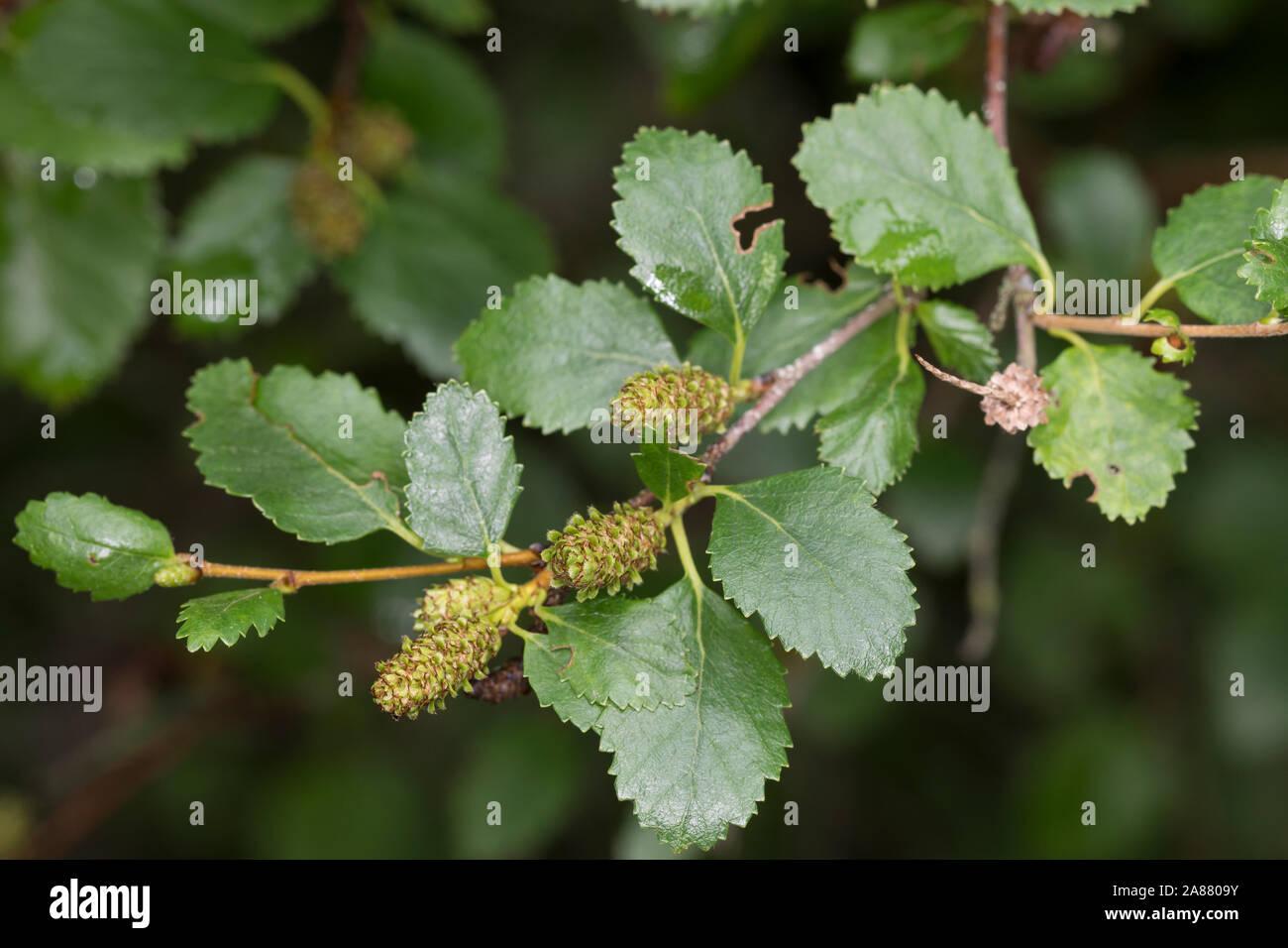 Strauch Birke Strauchbirke Niedrige Birke Betula Humilis