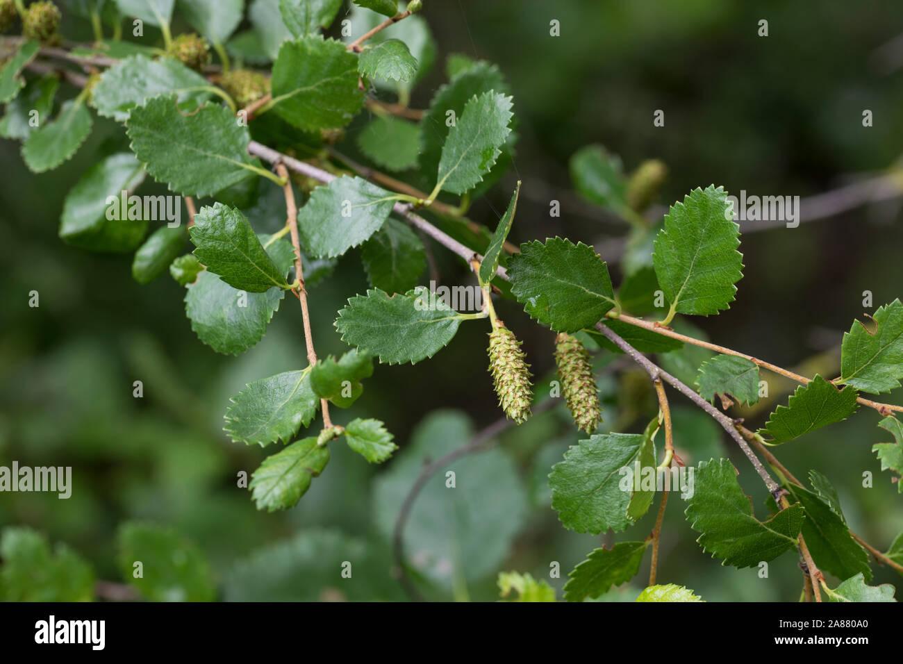 Birke Strauchbirke Strauch-Birke Betula humilis 60-80 cm im Container