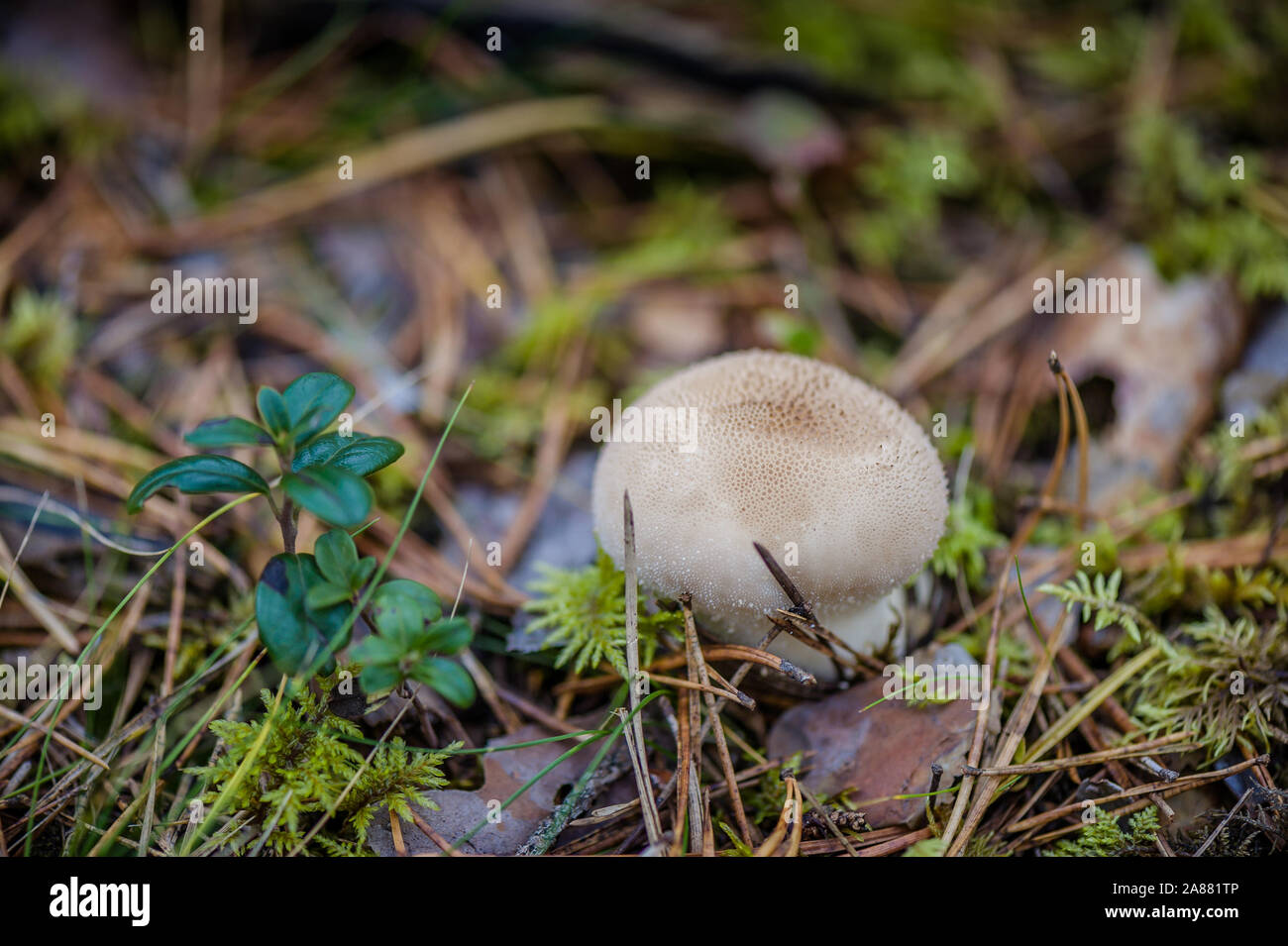 Mushroom raincoat growing in the forest among the moss. Edible little mushrooms Lisoperdon stick out of the ground with natural background. Outdoors c Stock Photo