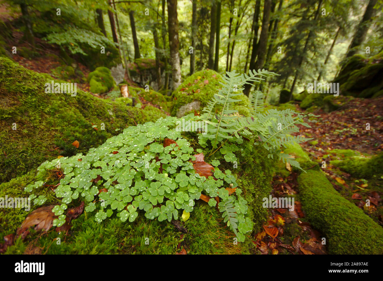 Clover and moss, Wehraschlucht, Bannwald,  autumn, Black Forest, Germany Stock Photo