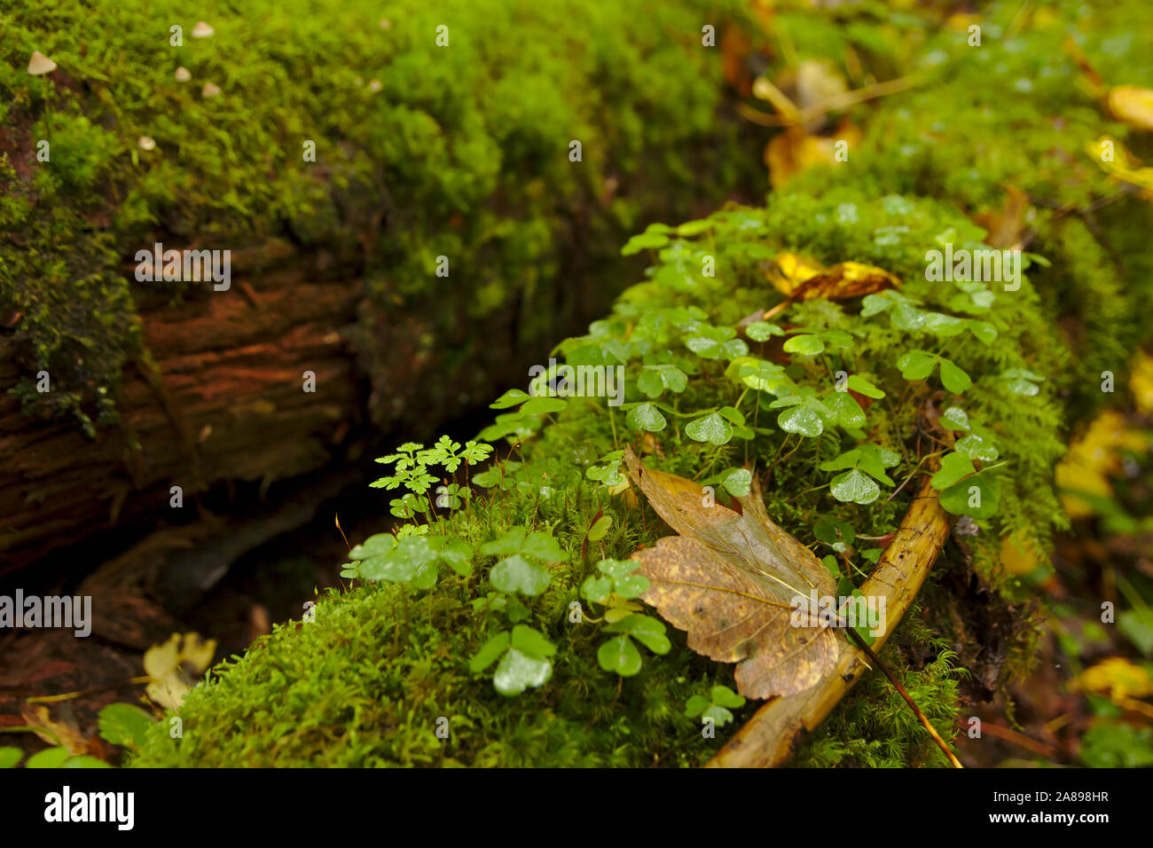 Clover and moss on deadwood, Haslachschlucht near Lenzkirch,  autumn, Black Forest, Germany Stock Photo