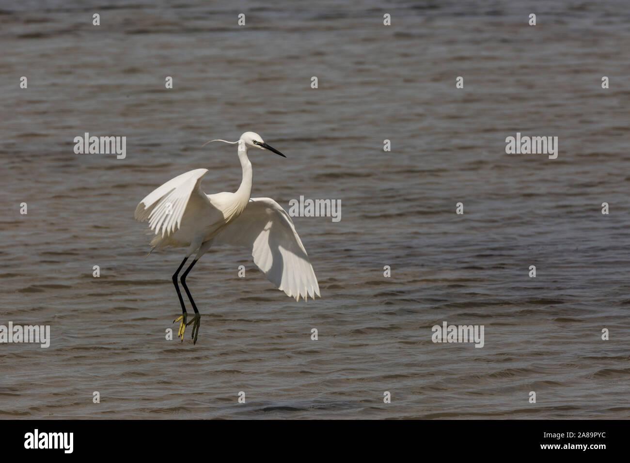 Little egret in Delta de l'Ebre Nature Park, Tarragona, Spain Stock Photo