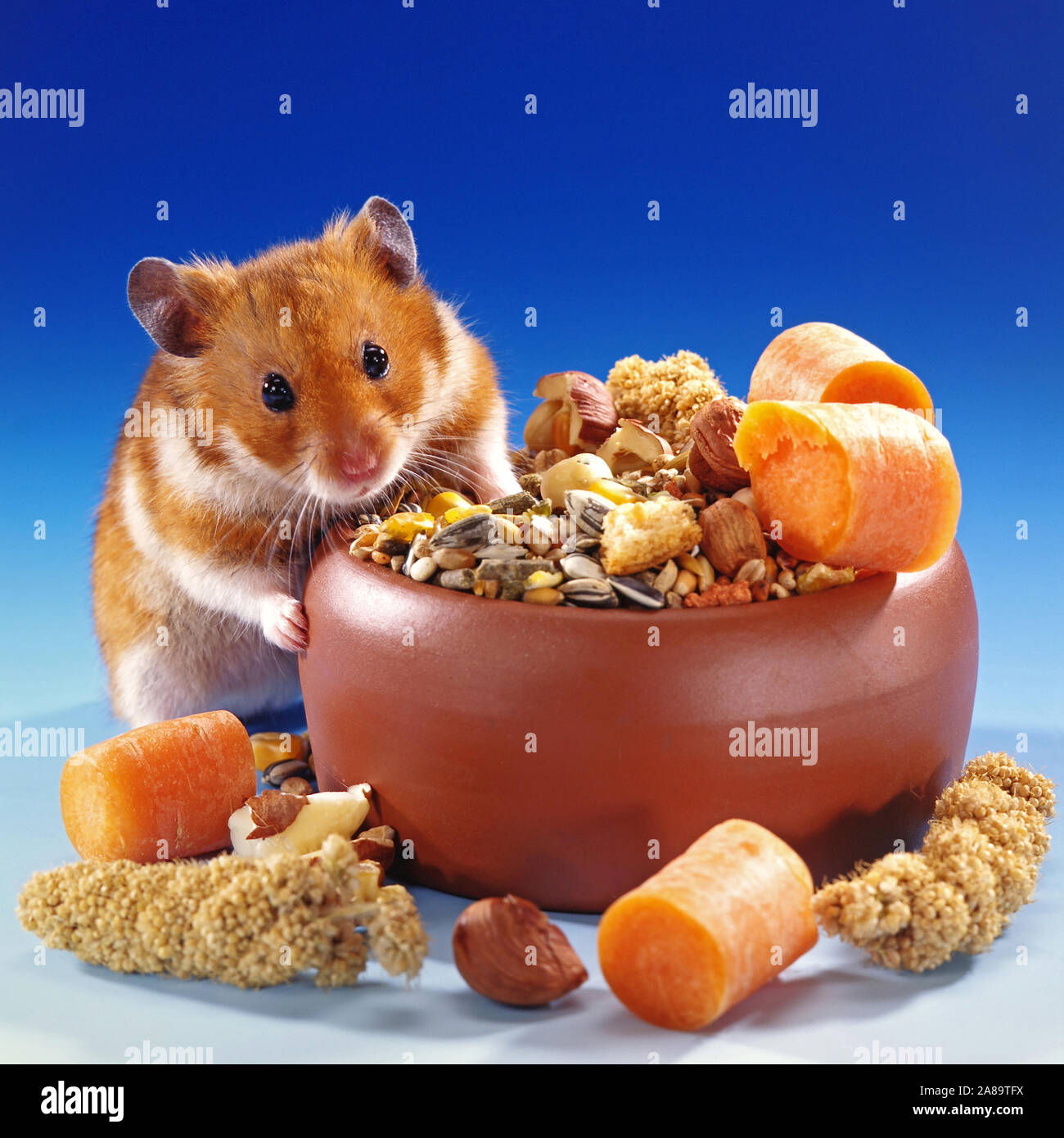 Goldhamster frisst Nagerfutter Stock Photo