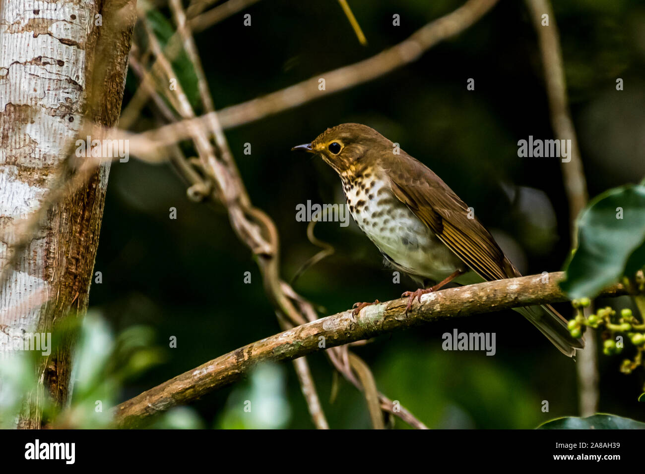 Swainson's thrush, also called olive-backed thrush Stock Photo