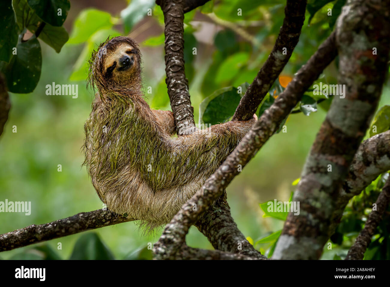 Brown throated three toed sloth image taken in Panamas rain forest Stock Photo