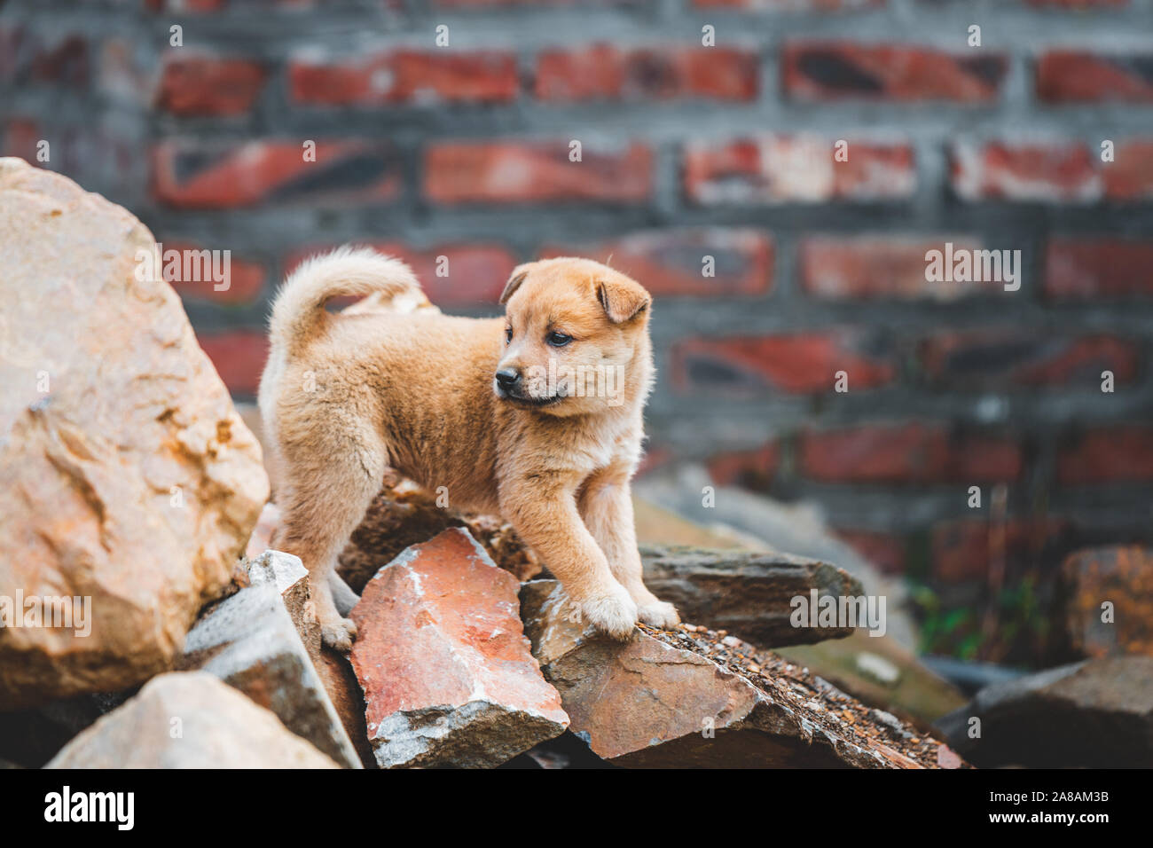 A cute lone abandoned puppy climbing on rubble after a house collapsed in Vietnam Stock Photo
