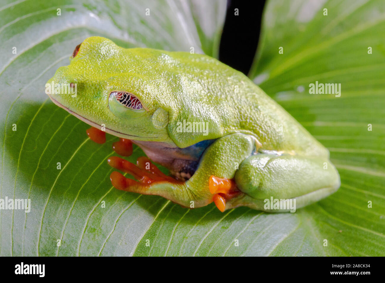 Red Eyed Tree Frog,  Agalychnis Callidryas, on a Leaf with Black Background Stock Photo