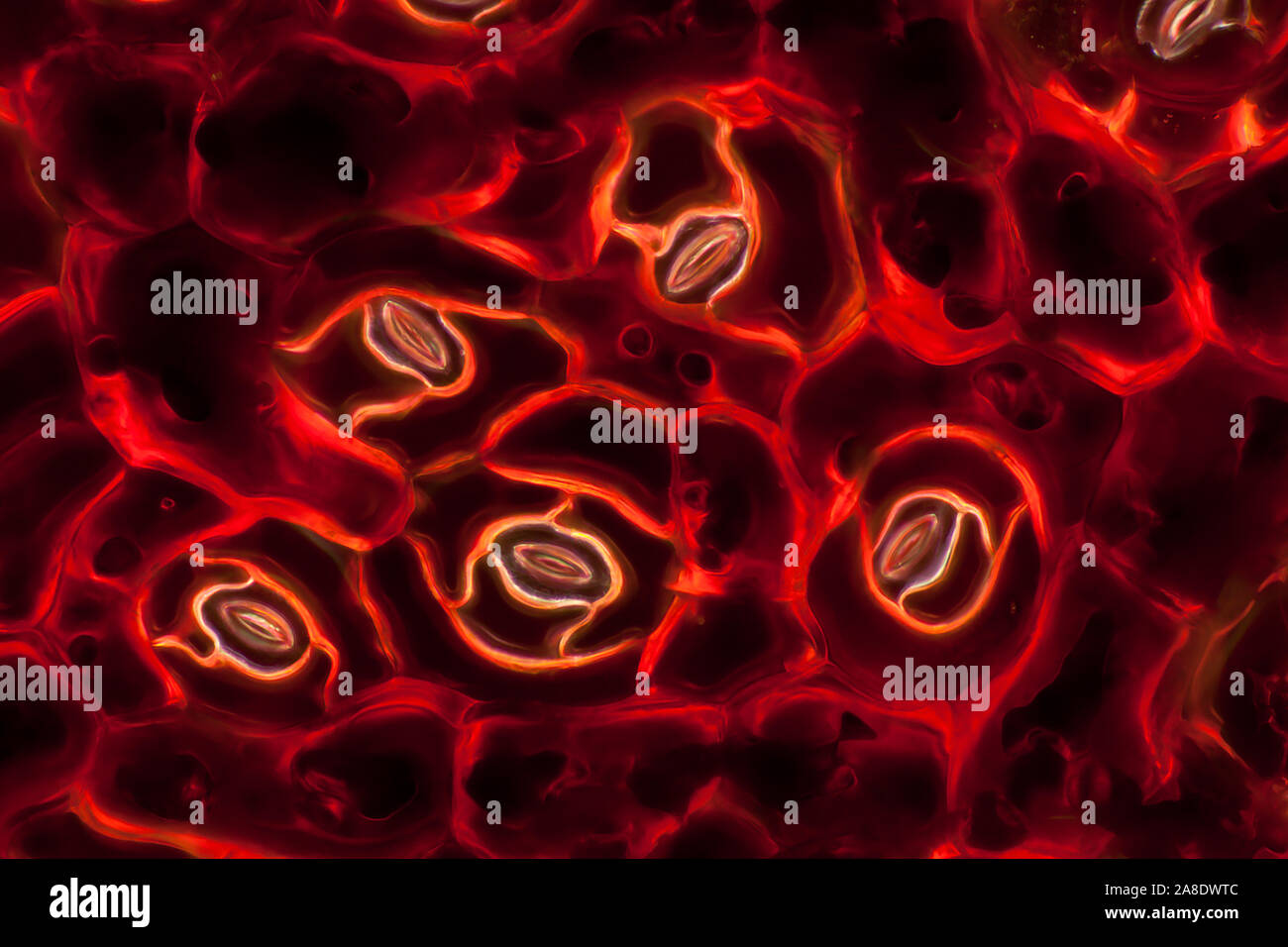 Microscope picture of a begonia leaf Stock Photo