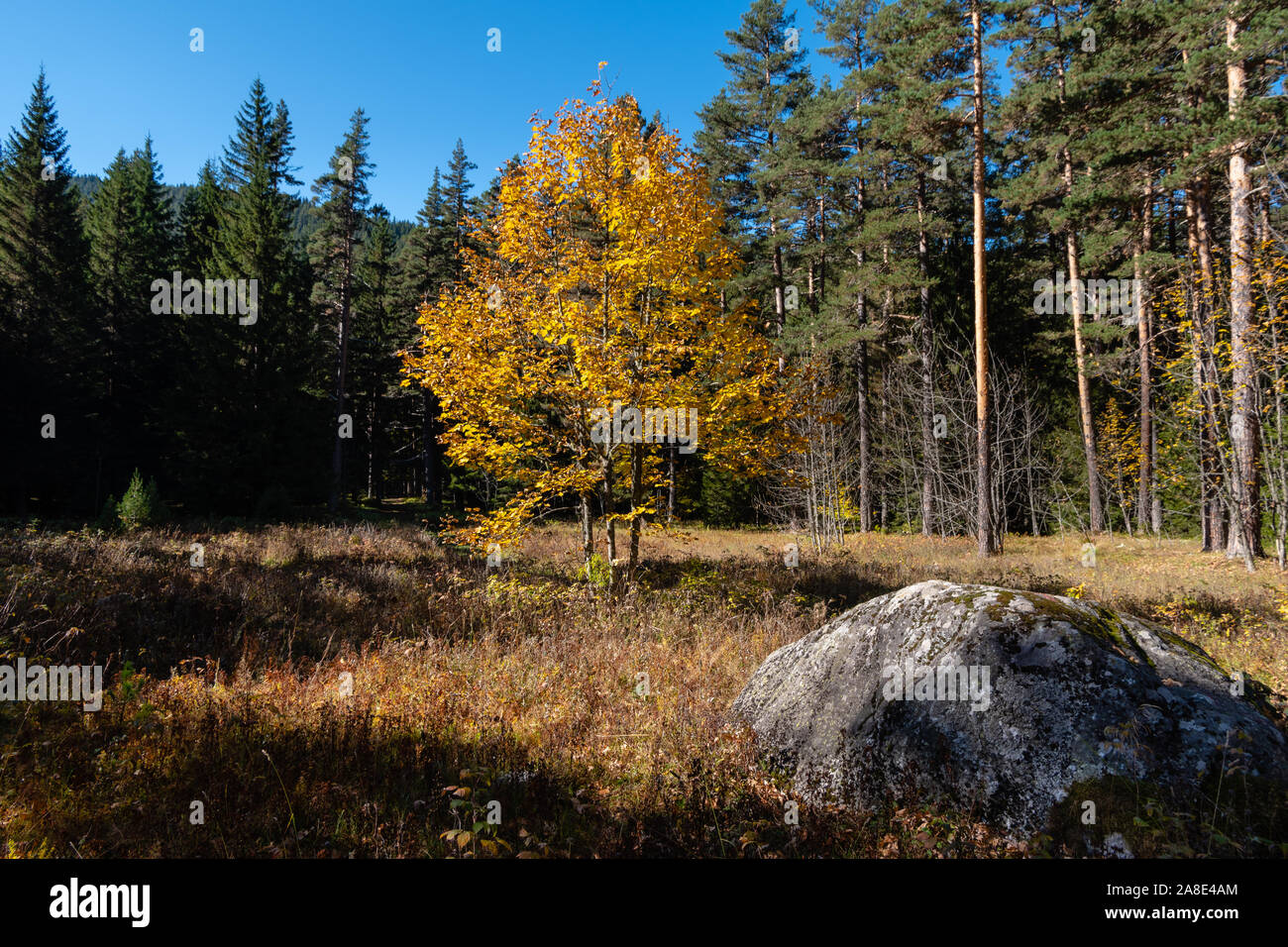 Autumn landscape, a lonely tree with yellow leaves on a meadow with dry grass, in the foreground a large stone, on background of a coniferous forest. Stock Photo