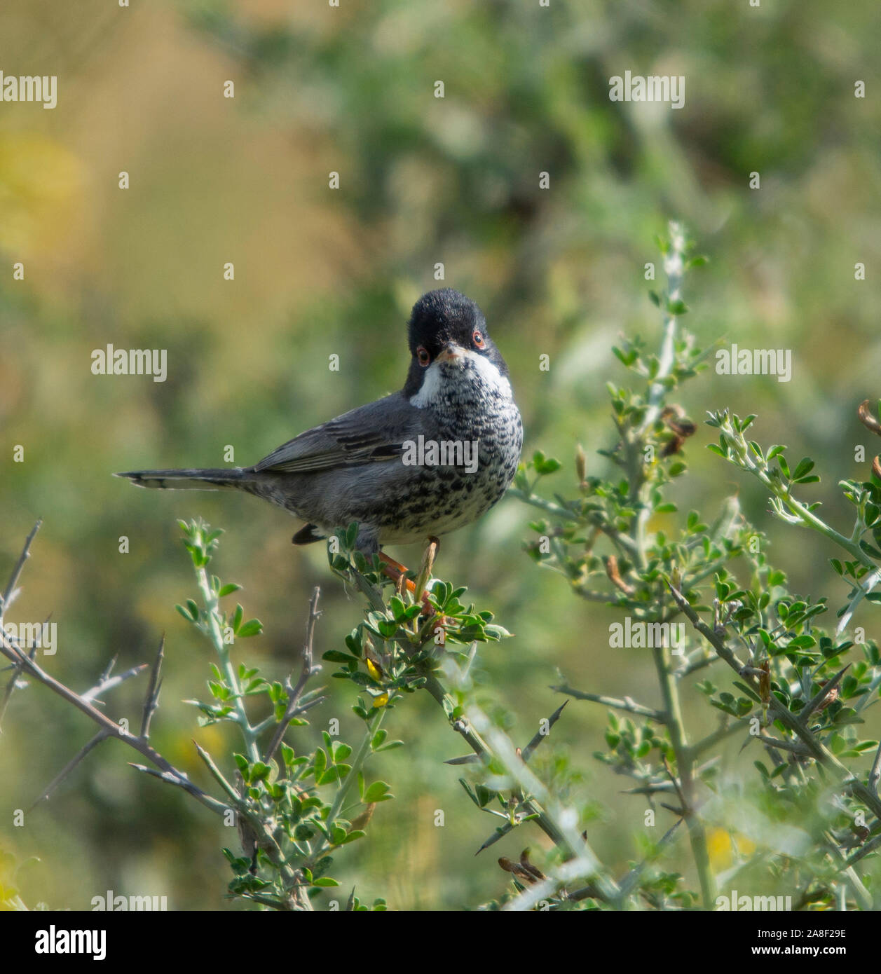 Male Cyprus Warbler (Sylvia melanothorax) in a small bush on the Island of Cyprus. Stock Photo