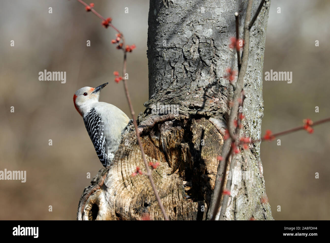 A female red-bellied woodpecker (Melanerpes carolinus) perching on the trunk of a maple tree in Spring Stock Photo