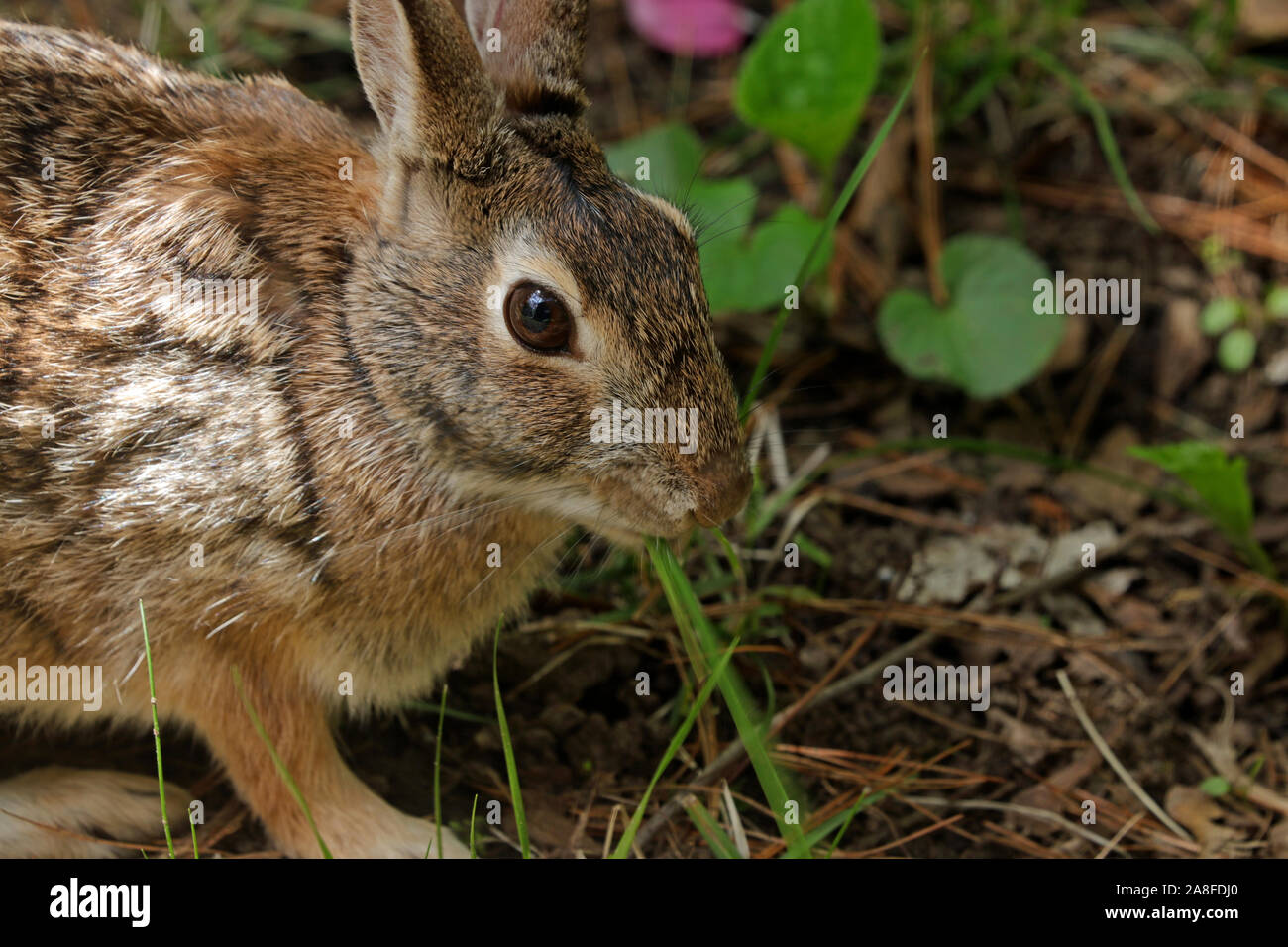 Close-up of an Eastern cottontail rabbit (Sylvilagus floridanus) eating a blade of grass Stock Photo