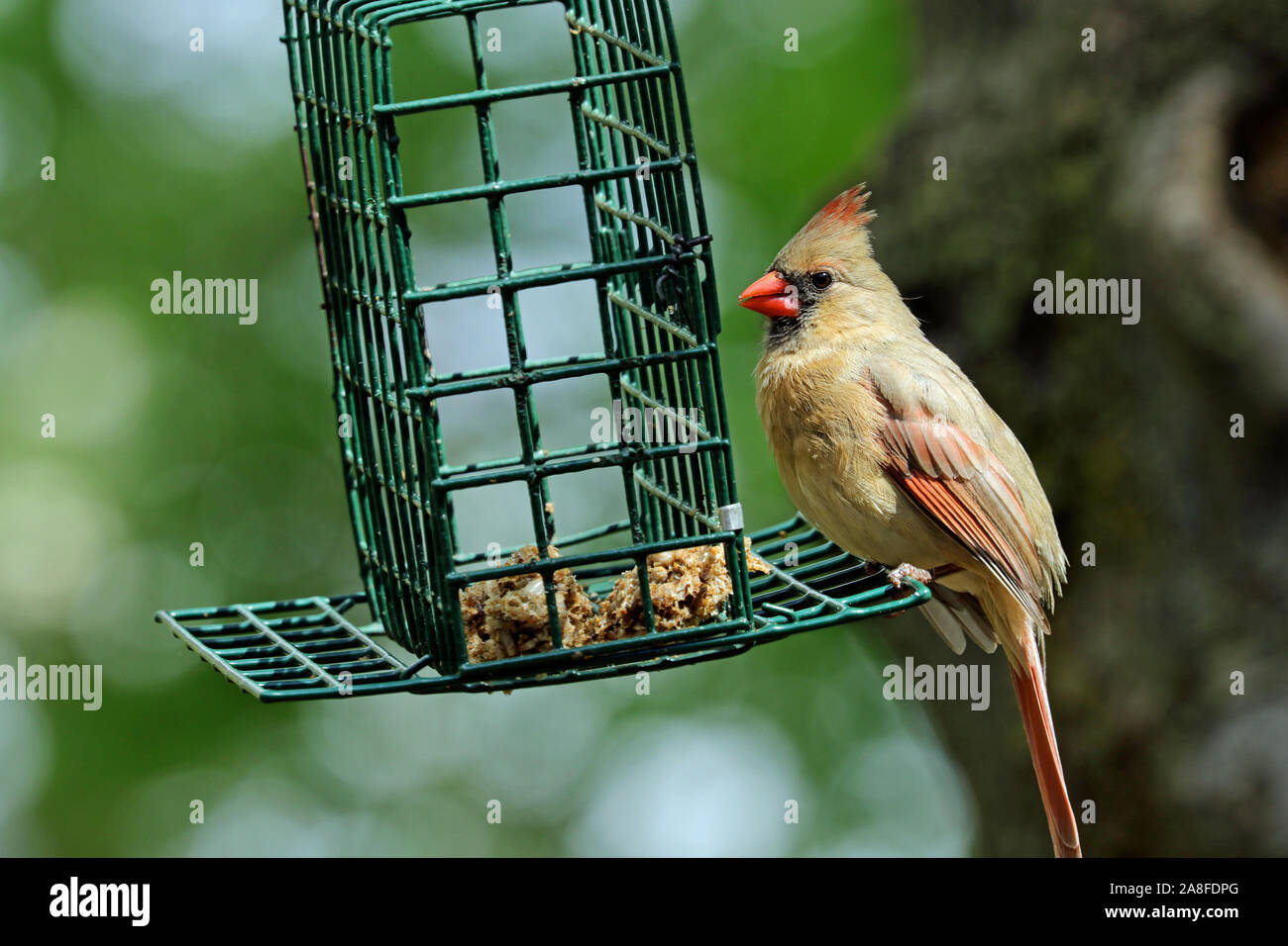 A female Northern cardinal (Cardinalis cardinalis) eating tidbits of a dried mealworm cake at a backyard bird feeder in Spring Stock Photo