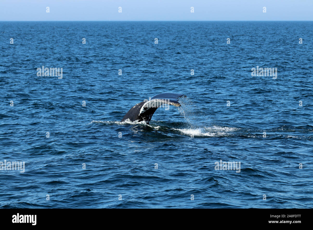 The fluke of a humpback whale (Megaptera novaeangliae) in a dive at Stellwagen Bank National Marine Sanctuary off the Massachusetts coast Stock Photo