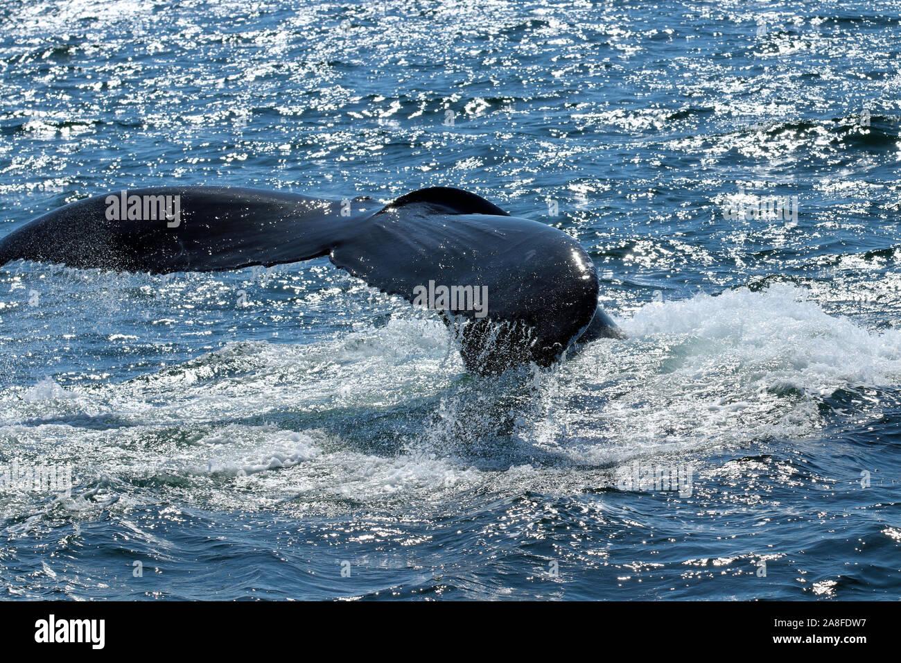 Close-up of fluke of humpback whale (Megaptera novaeangliae) in a dive at Stellwagen Bank National Marine Sanctuary off the Massachusetts coast Stock Photo