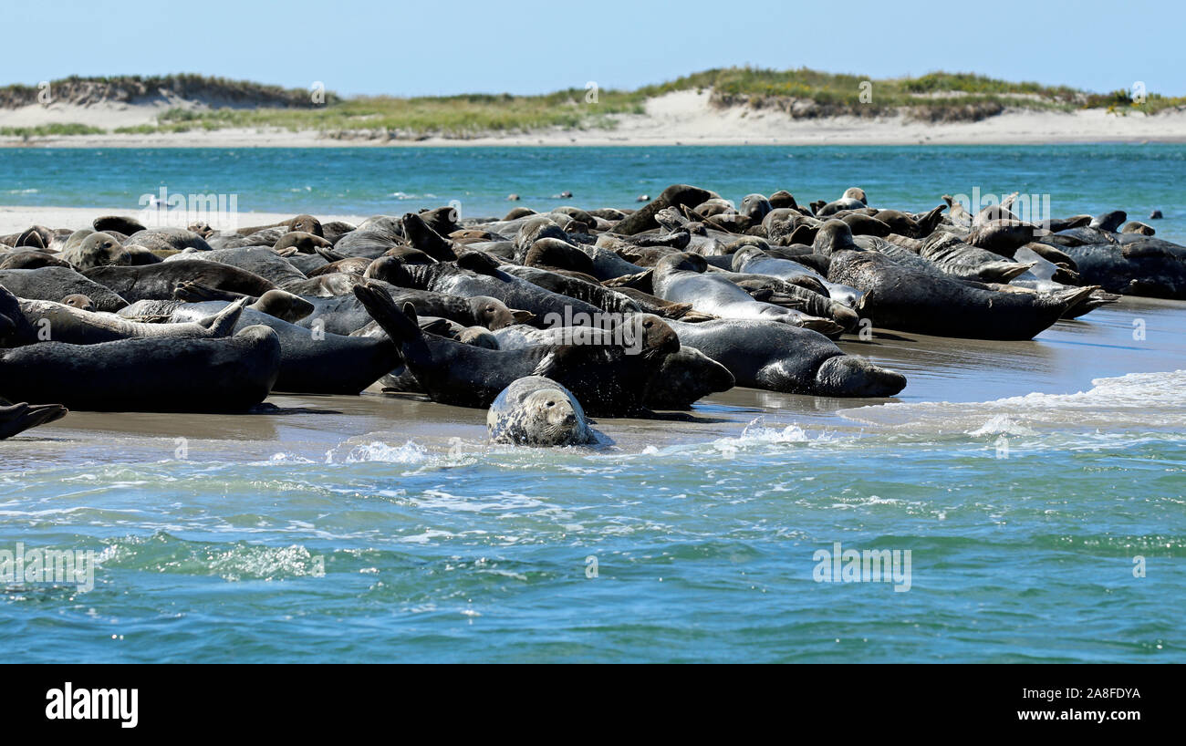 A colony of gray seals (Halichoerus grypus atlantica) basking on a sandbar on Monomoy Island, Cape Cod, Massachusetts Stock Photo