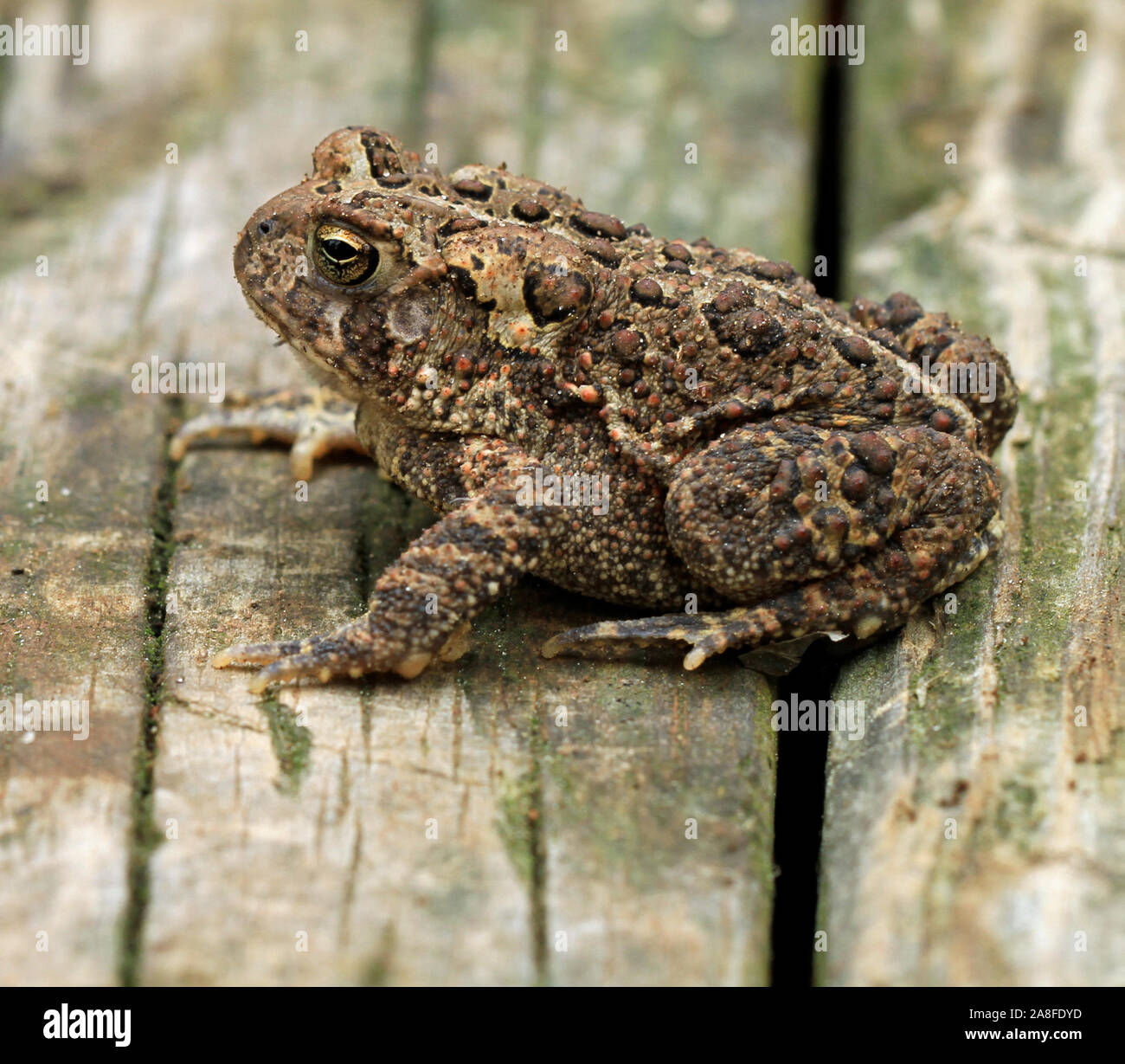 Close-up side view of an adult Fowler's toad (Anaxyrus fowleri) in Spring Stock Photo