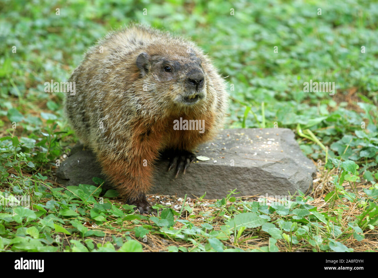 Groundhog (Marmota monax) with visible incisors sitting on a rock during a New England Spring Stock Photo
