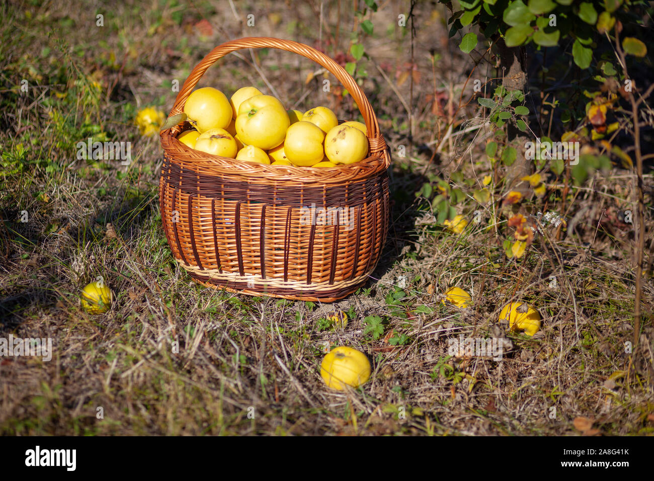 Still life autumn photo of freshly picked yellow quinces in a basket Stock Photo