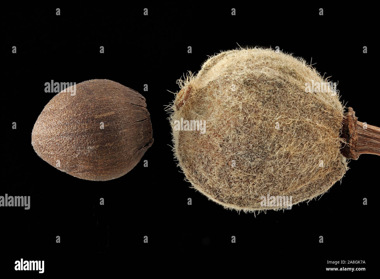 Tilia platyphyllos, Large-leaved lime, Sommer-Linde, seed and fruit, close up Stock Photo