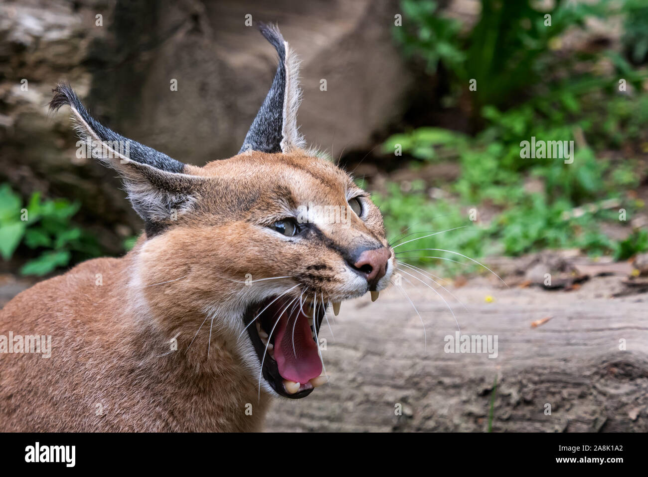 Cats With Long Tufted Ears High Resolution Stock Photography And Images Alamy