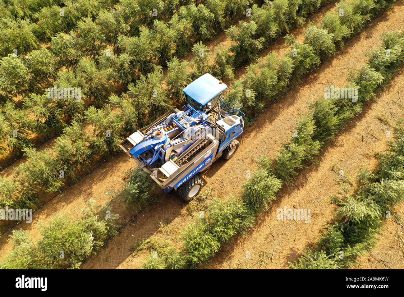 New Holland Olive harvester working in a field, Aerial view. Stock Photo